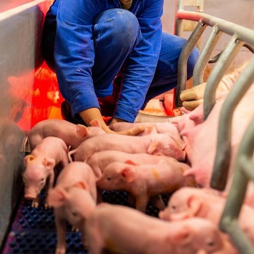 CS Porc (Certificat de spécialisation pour la conduite de l'élevage porcin)